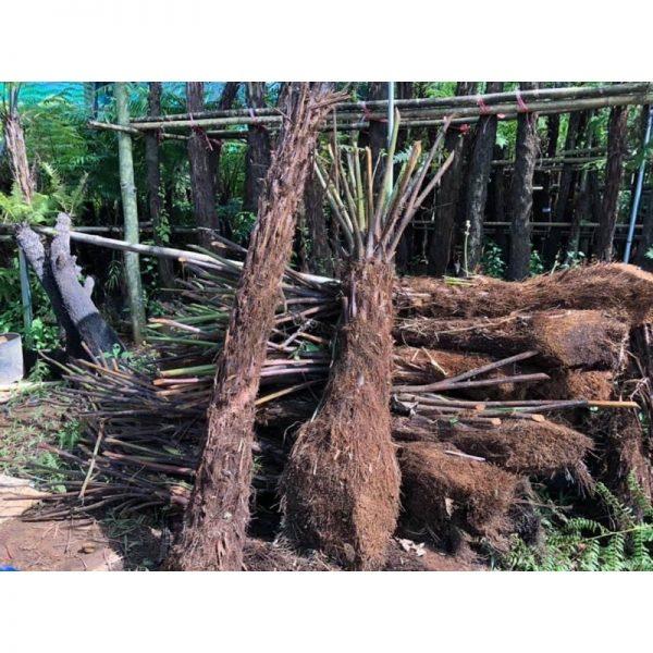 Cây Phôi Dương Xỉ Cổ Đại Cyathea contaminans Lóng Thân Cao 1,5m 12