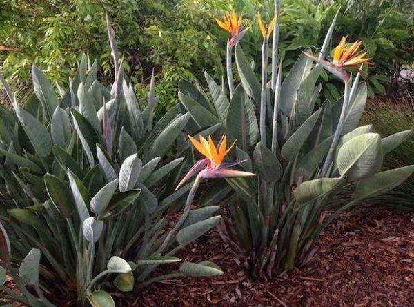 Bụi 10 Cây Thiên Điểu Nam Mỹ Strelitzia Reginae Cao 1m 11