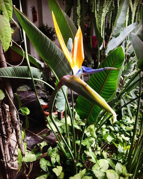 Bụi 10 Cây Thiên Điểu Nam Mỹ Strelitzia Reginae Cao 1m 14