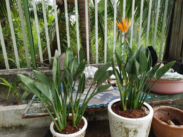 Bụi 10 Cây Thiên Điểu Nam Mỹ Strelitzia Reginae Cao 70cm 14
