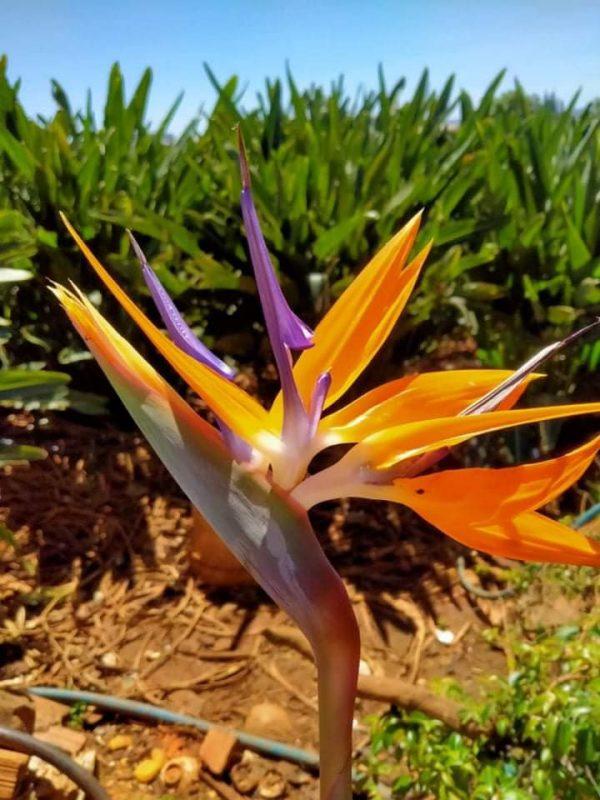 Bụi 10 Cây Thiên Điểu Nam Mỹ Strelitzia Reginae Cao 1m