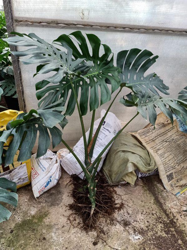 Cây Trầu Bà Lá Xẻ Nam Mỹ - Monstera Deliciosa 3 Năm Tuổi - 5 lá 80cm 12