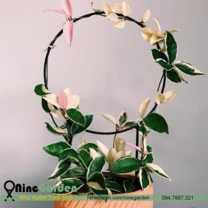 Hoa Hoya Carnosa Variegata - TAM SẮC CẦU LAN (Đột Biến) 1