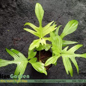 Philodendron Florida Ghost hay Trầu bà cánh én 'Bóng Ma'