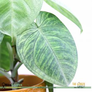 Cây Syngonium Macrophyllum 'Trái Tim Băng Giá' 1